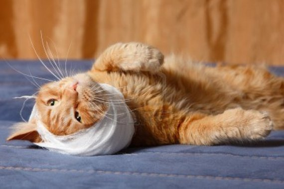 13786167-cat-ear-ache-with-bandage-at-home