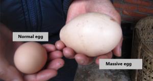 615x330_egg3