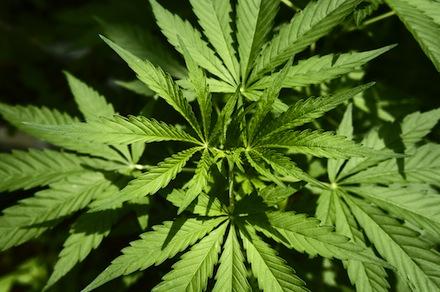 Cannabis sativa, marihuana, hemp, plant